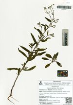 Halenia deflexa (Sm.) Griseb.