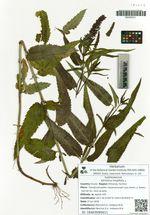 Veronica longifolia L.