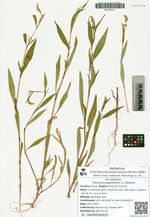 Persicaria lapathifolia (L.) Delarbre