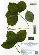 Chloranthus japonicus Siebold