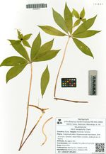 Paris hexaphylla Cham.