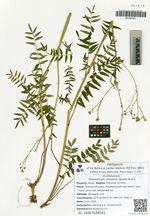 Polemonium chinense (Brand) Brand