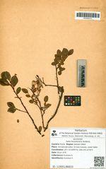 Salix fuscescens Anderss.