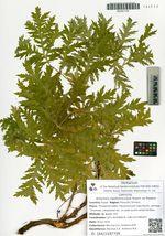 Artemisia maximovicziana Krasch. ex Poljakov