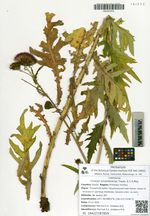 Cirsium schantarense Trautv. & C.A.Mey.