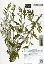 Artemisia koidzumii Nakai